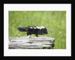 Baby skunk on log by Corbis