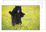 Black bears playing by Corbis