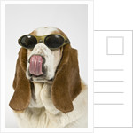 Bassett hound licking nose by Corbis