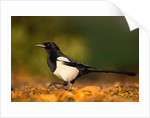 Adult Magpie in Autumn Leaves by Corbis