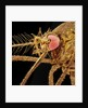 Female Asian Tiger Mosquito by Corbis