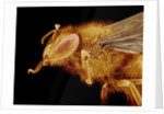 Head of a Honeybee by Corbis
