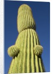 Saguaro Cactus in Tinajas Altas Mountains by Corbis