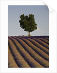 Tree and lavender field by Corbis