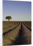 Lavender field by Corbis