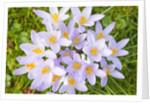 Lilac Crocus flowers by Corbis