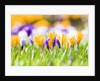 Orange and purple crocus flowers by Corbis