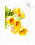 Yellow and orange tulips by Corbis