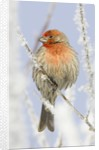 Male house finch on hoarfrost-covered tree in winter by Corbis