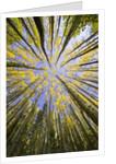 Golden Aspen Trees Seen From Below by Corbis