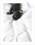French Bulldog Lying on Bed by Corbis