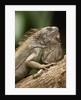 Green Iguana, Costa Rica by Corbis