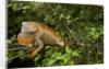 Green Iguana in a Tree in Costa Rica by Corbis