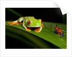 Rainforest Frogs in Costa Rica by Corbis