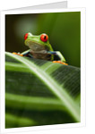 Red-eyed tree frog on leaf by Corbis