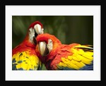 Scarlet Macaws at Zoo Ave Park, Outside San Jose by Corbis