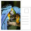 Blue-and-gold Macaws at Zoo Ave Park by Corbis