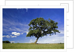 Lone tree at a meadow below a sunny blue sky by Corbis