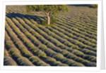 Tree in lavender field by Corbis