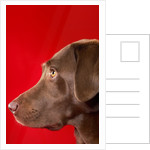Chocolate lab by Corbis