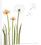 Dandelions by Corbis