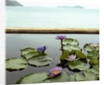 Water lilies in pond by ocean by Corbis