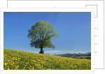 Lime tree in dandelion covered meadow by Corbis