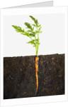 Carrot in dirt by Corbis