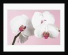 White Phalaenopsis orchids by Corbis