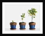 Potted orange trees by Corbis