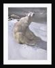 Polar bears in snow by Carl Ederer