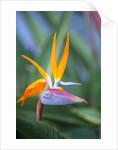 Bird-of-paradise flower on Maui by Corbis