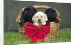 Black and yellow labrador retriever puppies in basket with red bow by Corbis