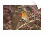 European robin perched among frost covered berries by Corbis