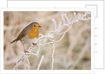 European robin perched on frost covered grass by Corbis