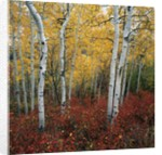 Aspen in autumn at Uinta National Forest by Corbis