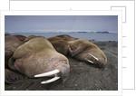 Walrus herd lying on beach by Corbis