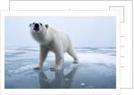 Polar Bear on ice by Corbis