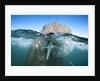 Walrus swimming by Corbis