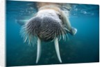Adult male walrus, Lagoya, Svalbard, Norway by Corbis