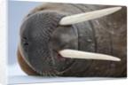 Walrus on ice by Corbis