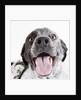 Dog panting by Corbis