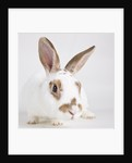 White and tan rabbit by Corbis
