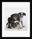 Brittany spaniel and Australian shepherd puppies by Corbis