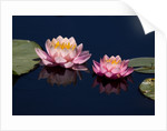 Water Lily, Canada. by Corbis