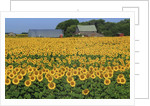 Sunflowers and Farm, Dugald, Manitoba, Canada. by Corbis
