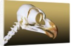 Skull of an Adult Great Horned Owl (Bubo Virginianus), Alberta, Canada by Corbis