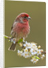 House Finch (Carpodacus Mexicanus) on Flowering Plum Tree Branch, Victoria, Vancouver Island, British Columbia, Canada by Corbis