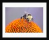 Bee on flower by Corbis