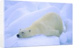 Adult Polar Bear (Ursus Maritimus) Cleaning Its Fur on the Snow. Svalbard, Arctic Norway. by Corbis